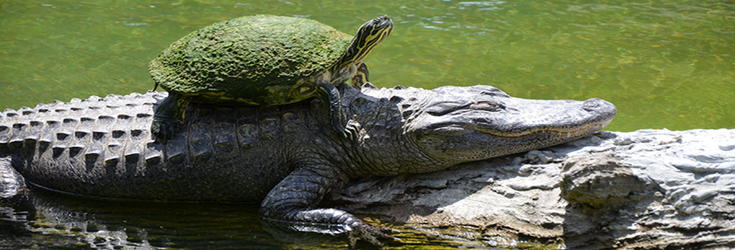 Turtle on the back of an alligator