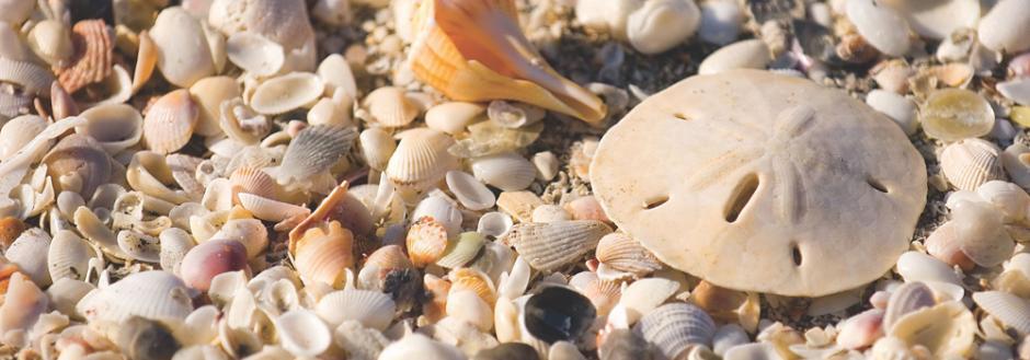 Sand Dollar among many small shells