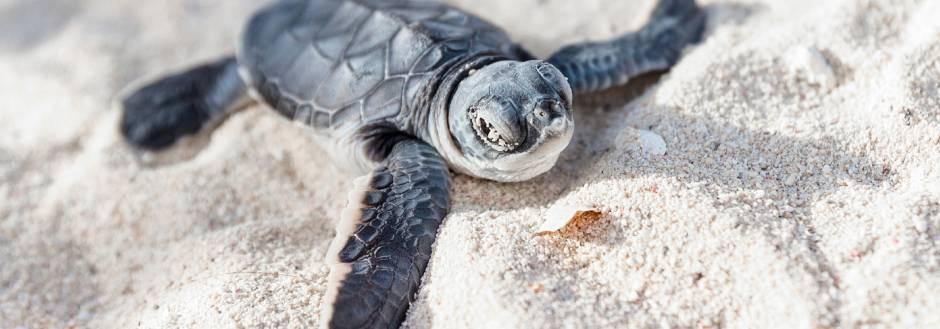 Sanibel Island Sea Turtle