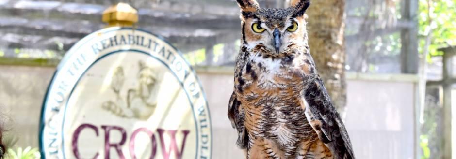 Mina great horned owl