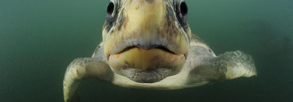 Sea Turtle face under water