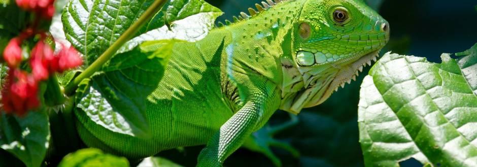 Sanibel Island Iguana