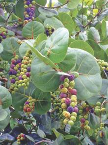 Sea Grapes hanging from the tree