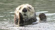 Sanibel Otters