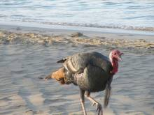 Beach Turkey