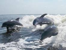 Dolphins playing in boat wake