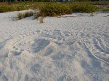 Leatherback turtle tracks in the sand