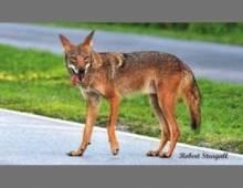 Coyote on Sanibel