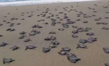 sanibel island sea turtles