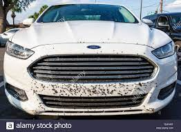Love bugs on a white car