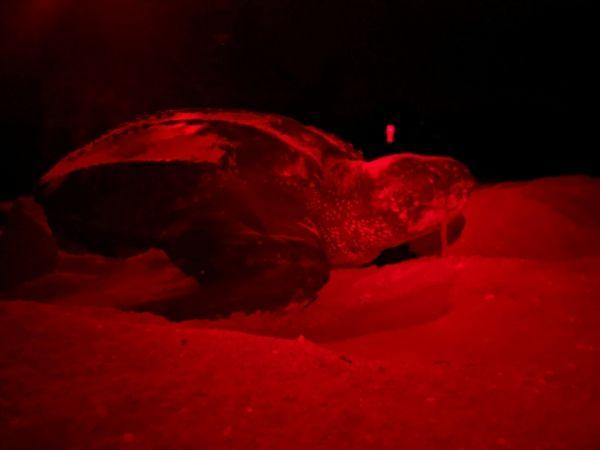 Sanibel Leatherback