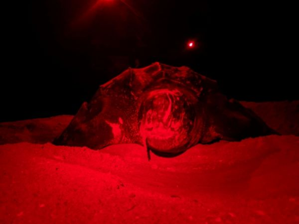 Sanibel Leatherback face